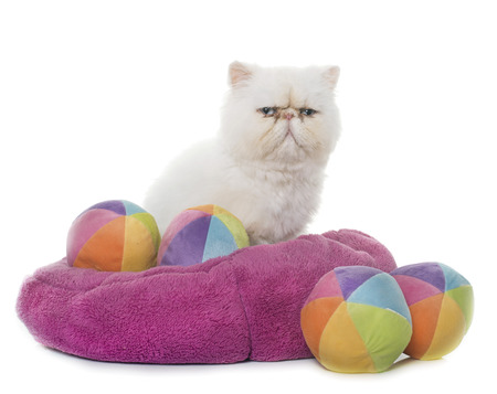 ball isolated: white persian cat in front of white background Stock Photo