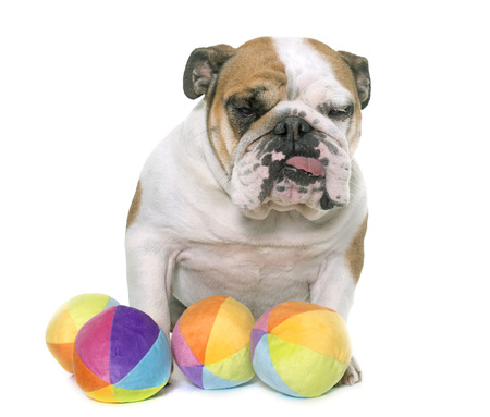 adult toys: english bulldog in front of white background Stock Photo