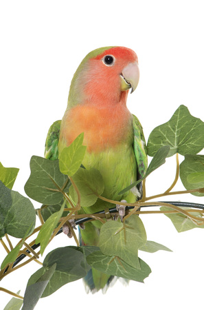 lovebird: lovebird perching in front of white background