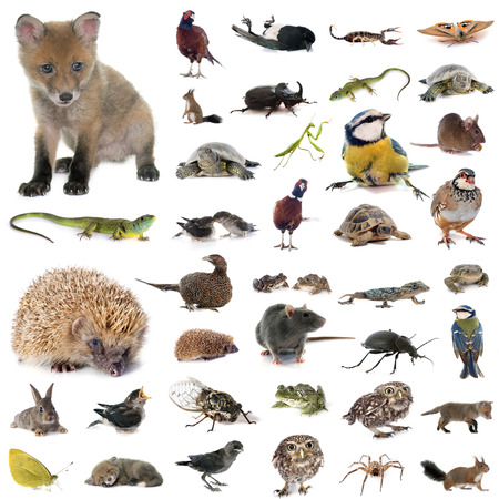 kuropatwa: european wildlife in front of white background