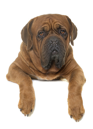 dogue de bordeaux: Bordeaux mastiff in front of white background