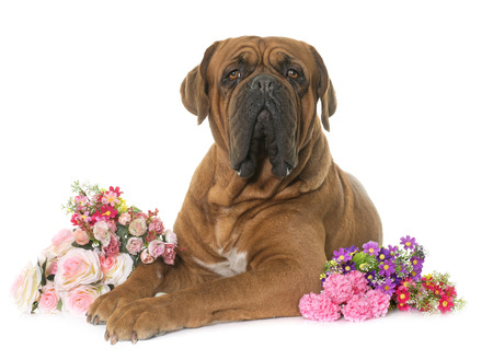 bordeaux: Bordeaux mastiff in front of white background