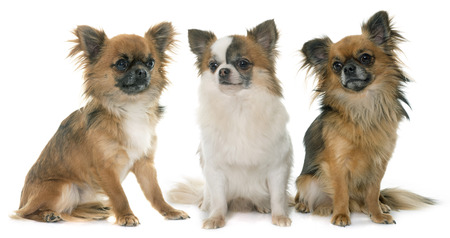 long hair chihuahua: three little chihuahua in front of white background
