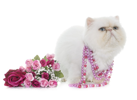 persian cat: white persian cat in front of white background Stock Photo