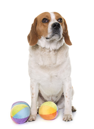 adult toys: adult beagle in front of white background