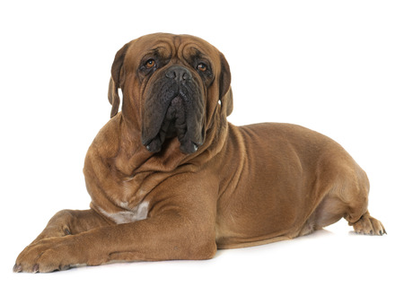 mastiff: Bordeaux mastiff in front of white background