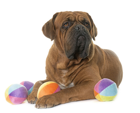 adult toys: Bordeaux mastiff in front of white background