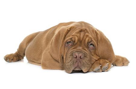 bordeaux mastiff: puppy Bordeaux mastiff in front of white background