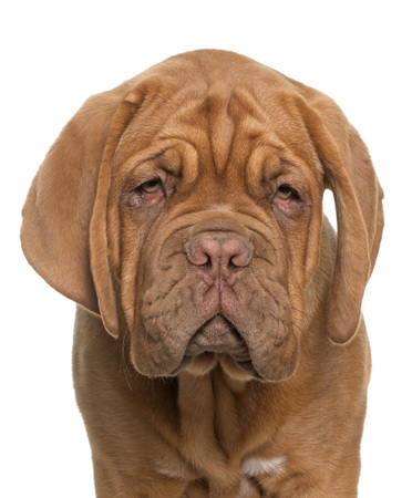 mastiff: puppy Bordeaux mastiff in front of white background