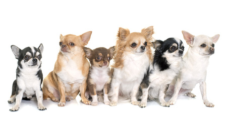 long hair chihuahua: group of chihuahuas in front of white background