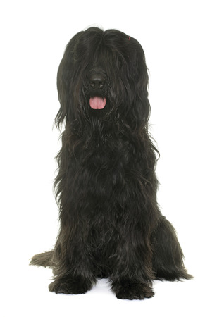 black dog: adult brioard in front of white background