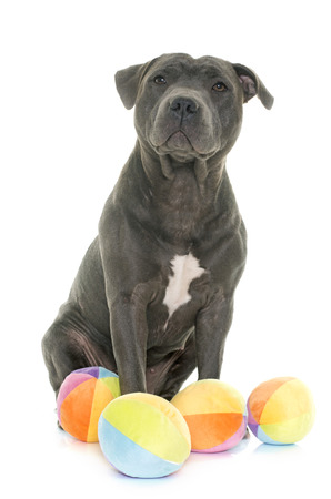 adult toys: staffordshire bull terrier in front of white background