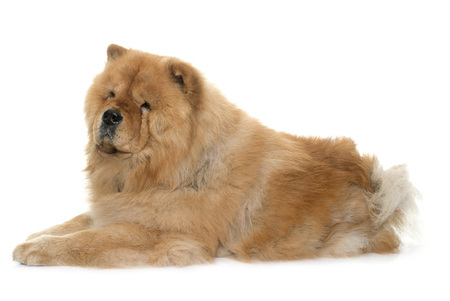 chow: chow chow in front of white background
