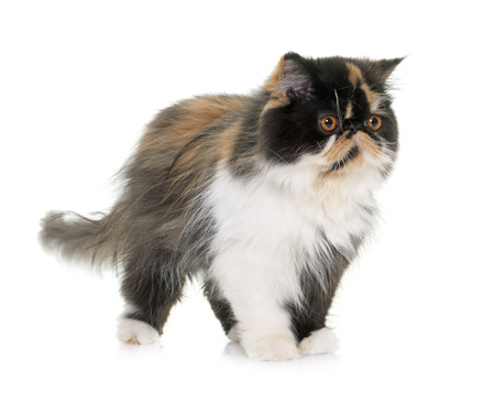 white cat: tricolor persian cat in front of white background