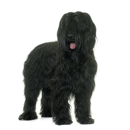 black hairs: adult brioard in front of white background