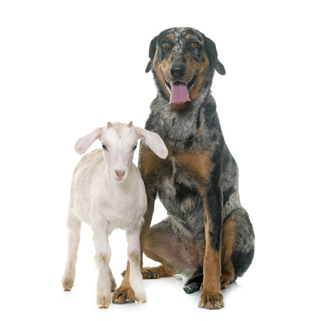 herding dog: female harlequin beauceron and kid in front of white background