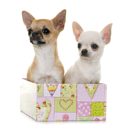 short hair dog: puppies chihuahua in front of white background Stock Photo