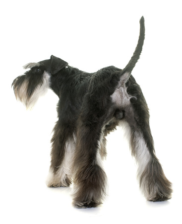testicle: back of miniature schnauzer in studio Stock Photo