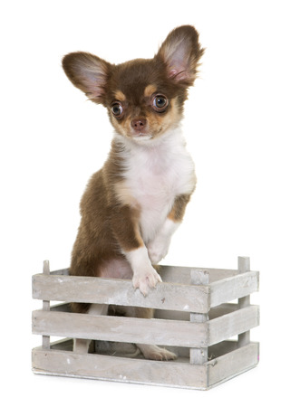long hair chihuahua: puppy brown chihuahua in front of white background Stock Photo