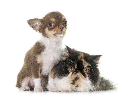 long hair chihuahua: tricolor persian cat and chihuahua in front of white background