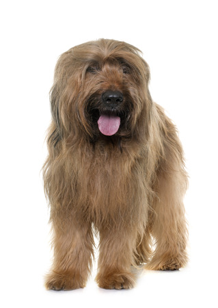 herding dog: adult brioard in front of white background