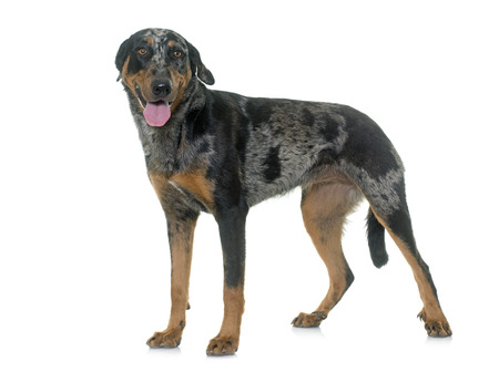 herding dog: female harlequin beauceron in front of white background Stock Photo