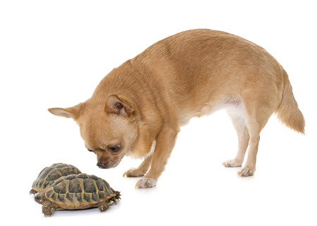 herpetology: Testudo hermanni tortoise and chihuahua on a white isolated background
