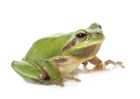 tree frog: European tree frog in front of white background