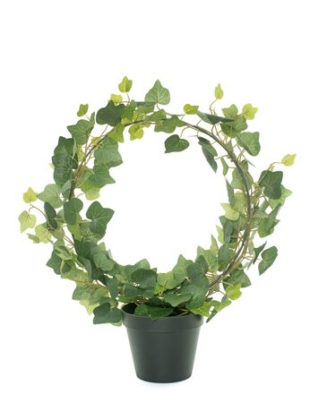 plant in pot: common ivy in front of white background
