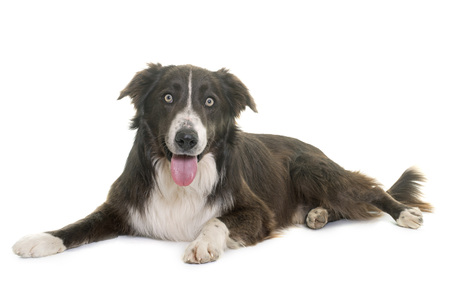 male animal: border collie in front of white background Stock Photo