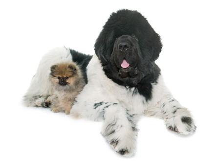 black giant mountain: pomeranian spitz and newfoundland dog in front of white background