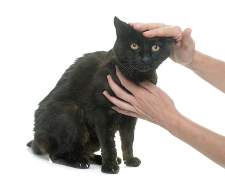 human hands: caressing old black cat in front of white background