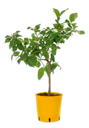 lemon tree: young lemon tree in front of white background