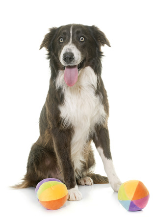 ball isolated: border collie in front of white background Stock Photo