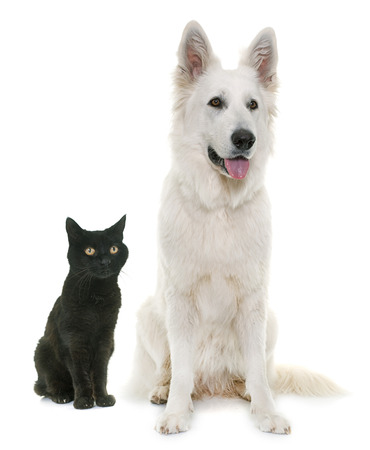 white dog: White Swiss Shepherd Dog and black cat in front of white background