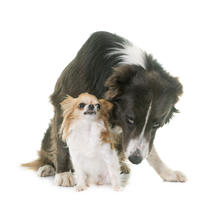 growling: border collie and chihuahua in front of white background Stock Photo