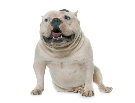 bully: white american bully in front of white background