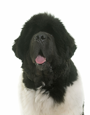 black giant mountain: black and white newfoundland dog in front of white background