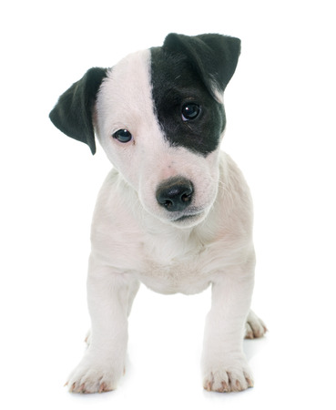 jack russel: puppy jack russel terrier in front of white background