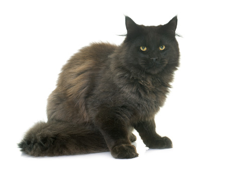 maine coon: brown maine coon in front of white background Stock Photo