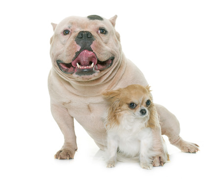 bully: white american bully and chihuahua in front of white background