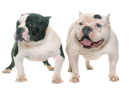 bully: two american bully in front of white background