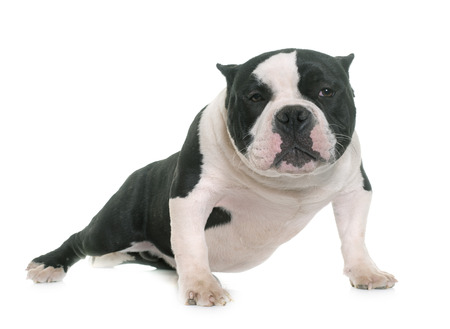 phlegm: puppy american bully in front of white background Stock Photo