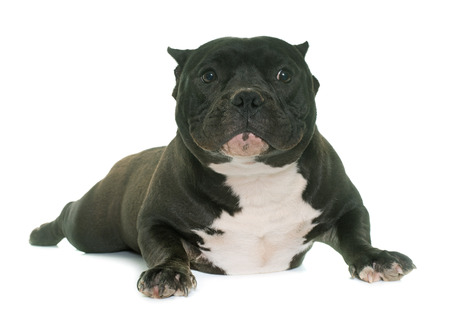 bully: puppy american bully in front of white background Stock Photo