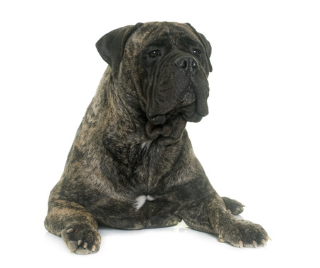 brindle: bull mastiff in front of white background