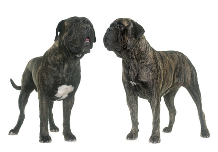 brindle: bull mastiffs in front of white background
