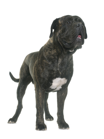 bullmastiff: bull mastiff in front of white background