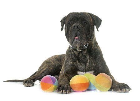male animal: bull mastiff in front of white background
