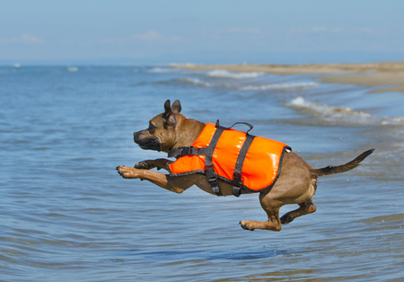life jackets: staffordshire bull terrier jumping in the sea, in France
