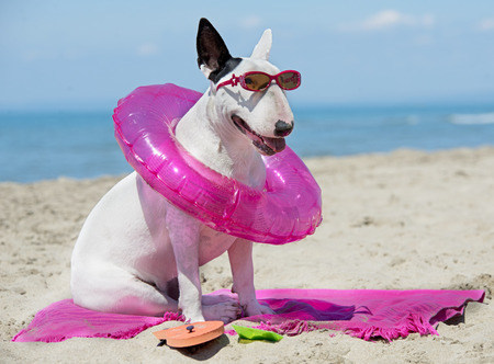 holiday pets: bull terrier standing on the beach, in France